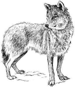 Wolves Drawing as Tribute for Farley Mowat